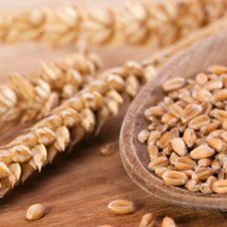 Zrno pšenice