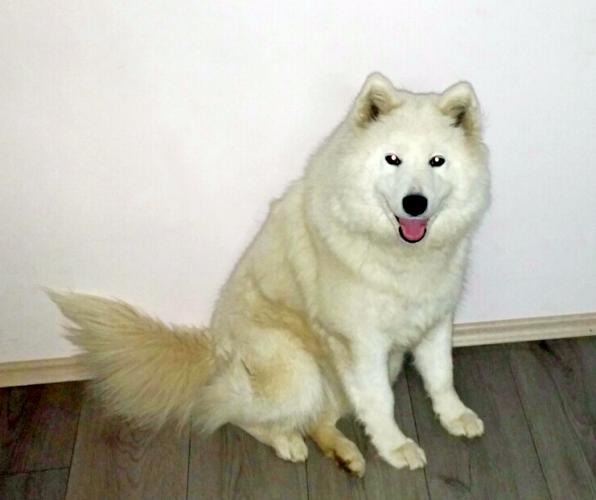 Moj pas Sibirski samojed
